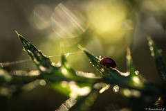Bébé coccinelle-001 (bonacherajf) Tags: corsica insecte macro coccinelle