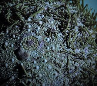 Maine Sea Urchin