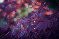 Like Summer Rain (ursulamller900) Tags: mygarden trioplan2950 ahorn maple raindrops rain summer sommer bokeh purple leaves