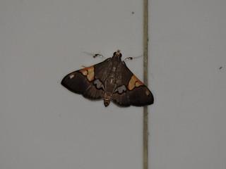 Liuzhou/柳州 - Heterocnephes lymphatalis  DSCN6527