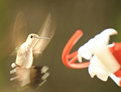 ~I'm all shook up!~ (nushuz) Tags: bird feeder red hummingbird blurrrrrr interestingshot wings nature outside actionshot