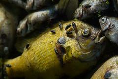 Fish fall victim to high temperatures _2584 (bradtort) Tags: fish dead forestpark stlouis missouri usa urban