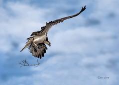 0K8A3913  23 (pete#1) Tags: osprey fishermen ladysmith ones wee three ocean
