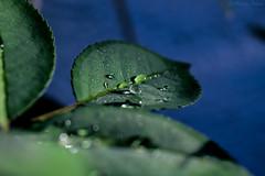 🌿 (martinap.1) Tags: macro makro nikon d3300 40mm tröpfchen drops droplets blatt wassertropfen water