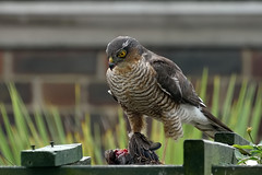 Sparrowhawk (f) (robcollins1) Tags: