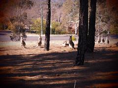An Alert Mob (Rantz) Tags: animal animals australia australiancapitalterritory canberra dikaiosyne kangaroo kangaroos myoz rantz lyneham au