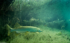 ASM Plongée, Brochet, Gravière du Fort - Site 4538.jpg (Hugues Brun) Tags: asmplongée site plongée gravièredufort animaux poissons brochet themes