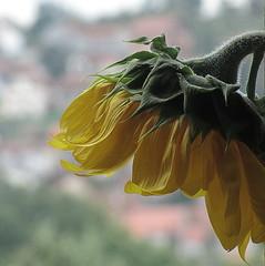 Sunflower (Sappho et amicae) Tags: sunflower plant flora sapphoetamicae macro