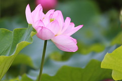 Lotus (Teruhide Tomori) Tags: japon japan kyoto nature summer flower lotus 夏 京都 花 ハス 日本 東寺 教王護国寺 toji pond garden macro