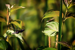 bee versus dragonfly (david_sharo) Tags: nature insects moraine pennsylvania bee dragonfly