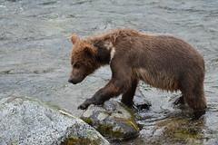 Grazer's Cub (raewynp) Tags: alaska katmainationalpark katmai katmainp bear brownbear cubs yearlings grazer 128 brooksfalls brooksriver wildlife ursusarctos