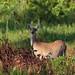 Deer at Oscar Scherer State Park, Florida.   Explored 7.24.2017 (Tom Turnwald) Tags: oscarschererstatepark nature deer trail canoneos6d sigma sigma150600sport explore