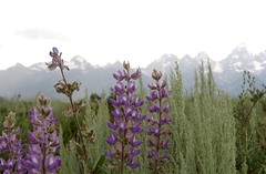 (prairiegirrl) Tags: grandtetons mountains wildflowers