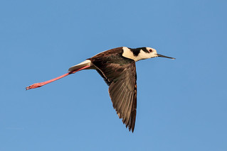 Black-winged Stilt [Perrito] (Himantopus mexicanus melanurus)