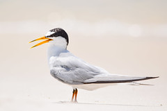 Least Tern (Jays and Jets) Tags: bird birds animal animals coast beach pensacolabeach florida fortpickens gulfislandsnationalseashore gulf tern leasttern