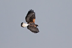 White-tailed Hawk (Alan Gutsell) Tags: bird birding photo canon brazil brazilbirds intervales state park whitetailed hawk whitetailedhawk raptor birdofprey