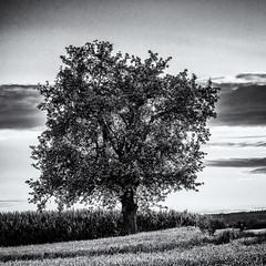 Enjoying the warm Light... (Ody on the mount) Tags: abendlicht anlässe bäume em5ii fototour himmel mzuiko40150 omd olympus pflanzen schwäbischealb wolken bw monochrome quadratisch sw altenriet badenwürttemberg deutschland de