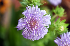 Bluish-purple colour (Pensive glance) Tags: flower fleur plant plante