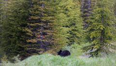 Rambling Along (maureen.elliott) Tags: landscape nature blackbear banffnationalpark alberta wildlife trees