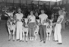 1128 (kentuckyffa) Tags: sae 55 ayrshire classs winners somerset dairy show senior yearling grand champion russell county junior calf