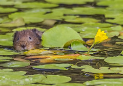 water vole (daves wildlife photos) Tags: canon 7d vole sigma 600 animal watervole wildlife mammal nature wales outdoor