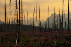 To the Horizon (Kristian Francke) Tags: fire outdoors nature natural landscape rocky mountains banff flowers dead trees tree sunset alberta