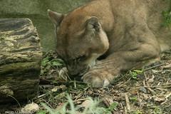 DSC_0063 (nicotr) Tags: 20170712 puma zoo
