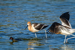Oh, crap.............. (craig goettsch) Tags: americanavocetrecurvirostraamericana hendersonbirdviewingpreserve2017 avian fight blue animals behavior wildlife nature nikon d500 earedgrebe