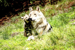 Hab dich lieb Mami! - Love you mommy! (vampire-carmen) Tags: wolf wölfe wolves junges puppy welpe familie family rudel pack tierpark zoo cham oberpfalz bayern bavaria deutschland germany alemania europe hdr canoneos600d raubtier predator wolwe ujq ተኵላዎች الذئاب գայլեր canavar otso নেকড়ে ဝံပုလွေ vukovi вълци mgalobo mimbulu 狼 ulve lupoj hundid lobo susia loups მგლები λύκοι વરુના זאבים भेड़ियों serigala úlfar lupi オオカミ ತೋಳಗಳು қасқырлар 늑대들 vilki vilkai amboadia ചെന്നായ്ക്കൾ wuruhi लांडगे чоно ब्वाँसा wolven ulver wilki волки luko madaidheanallaidh vargar vlci volkovi bleiddiaid sói