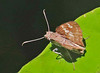 EC17b02196a (jerryoldenettel) Tags: 170707 2017 clitozelotes ecuador hesperiidae hewitson'sclito pyrginae sachalodge butterfly insect skipper