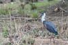 Woolly-necked Stork (kishorebhargava) Tags: birds birdsofindia birdsofrajasthan india rajasthan ranthambhore ranthamboretigerreserve sawaimadhopur woolyneckedstork
