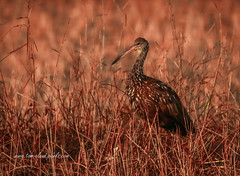 Limpkin in Morning Light (tclaud2002) Tags: limpkin bird wadingbird grass nature mothernature wildlife animal marsh pineglades naturalarea jupiter florida