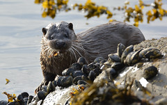 Otter (Cant Beat The Drumm) Tags: otter sea fish food taste tail close rocks clams ardnamurchan scotland wild widlife scottish