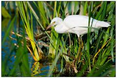 Little Blue Heron (juvenile) DSC_0803 (blindhogmike) Tags: phinizy swamp little blue heron bird augusta ga georgia waiting nature dawn