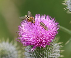 Hoverflies on thistle (themadbirdlady) Tags: hoverfly syrphus episyrphusbalteatus thistle insect airthreyns8096