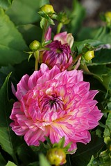 Dahlie  / dahlia (Ellenore56) Tags: 23072017 dahlie dahlia dahlien dahlienblüte blüte georgine georginen georgina blume flower blumen flowers blossom bloom florescence floral flora pflanzenwelt pflanze plant farbenrausch riotofcolors riotofcolours botanik botanical natur nature garten garden detail moment augenblick sichtweise perception perspektive perspective reflektion reflection reflexion farbe color colour licht light inspiration imagination faszination magic magical sonyslta77 ellenore56 pinkgelb shockingpink rosa pink purpur intensiv