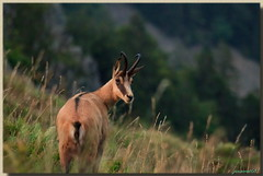 Pas dans Closer SVP! (jamesreed68) Tags: faune chamois 68 alsace france grandest hautrhin paysage nature montagne martinswand hohneck canon eos 600d