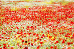 Maremman springtime (HerpetoMagge) Tags: rosso field poppy papaver rhoeas maremma tuscany spring colours nice flower sunny day nature flowers double exposure impression pattern plain italy marco maggesi photography