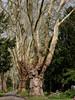 P1010201-V01 (fpr.3000) Tags: platanen karlsruhe friedhof allee