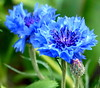 Cornflowers (Mary (No Multiple Invites Please)) Tags: cornflowers
