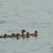 Tufted duck with ducklings