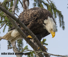 Bald EAgle NJ shore (Mike Black photography) Tags: bald eagle eaglet bird nature big year birding raptor canon mike black nj new jersey shore photo photography trees belmar shark river white feathers flying green nest