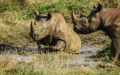 Having mud fun. (pitkin9) Tags: black rhino ncg yorkshirewildlifepark together mud fun