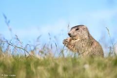 Bon appetit! (D a n i V a l d é s) Tags: landscape landscapes animal animals marmot marmots marmota marmotas animales nature naturaleza love peace calm joy wonderful cute xt2 fuji fujifilm fujixt2 fujifilmxt2 xseries fujifilmxseries eat food france wild