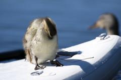 Cuteness Clean (spollock61) Tags: trilliumlake water ducklings paddleboard oregon mthood trees nikon cute cuteness
