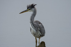 Grey Heron - Crowning Glory (Barbara Evans 7) Tags: grey heron newton haven northumberland uk barbara evans7