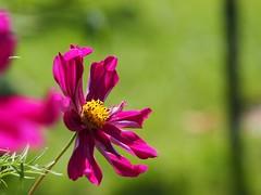 So Vibrant (Sam D!) Tags: closeup beautiful fuschia purple pink onitsown singleflower