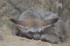 Nothing more important (dfromonteil) Tags: fennec fox renard sable aniaml endormi sleeping grey gris marron brown nature portrait