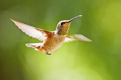 Hello There (Life of David) Tags: selasphorussasin allenshummingbird california camarillo usa 5dmarkiv canon5dmarkiv canon5div nature summer bird vogel oiseau uccello pájaro pássaro world100f