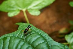 Tiger Beetle (Therates dimidiatus), Singapore (singaporebugtracker) Tags: singaporebugtracker blacktigerbeetle tigerbeetlesofsingapore nature theratessp stream yamleaves cicindelinae mandibles groundbeetles theratesdimidiatus beetle orangeleggedtigerbeetle